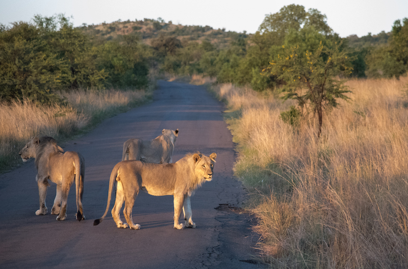 lions dusk pilanesberg