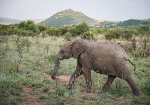 Teenage Elephant, Pilanesberg, South Africa
