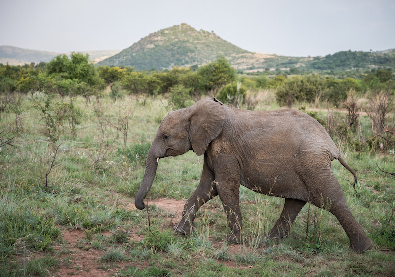 Teenage Elephant, Pilanesberg, South Africa