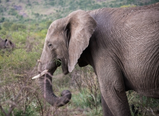 Elephant, Pilanesberg, South Africa