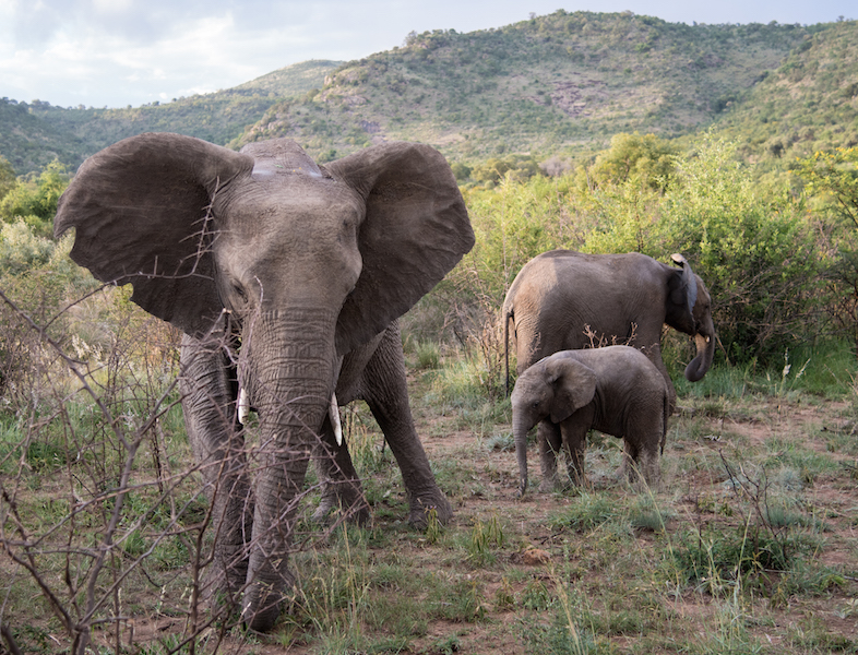 Elephants, Pilanesberg, South Africa