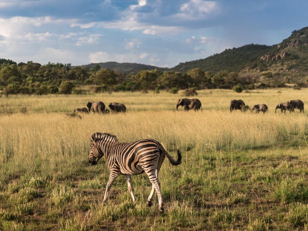 Zebra & Elephants