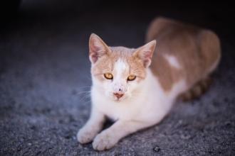 Greek Cat